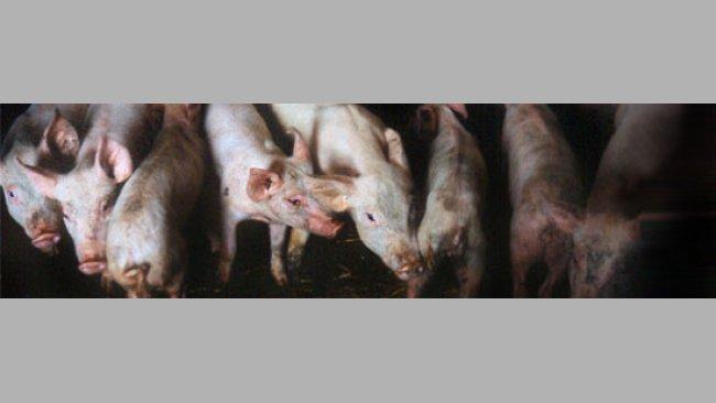 Cerdos de engorde afectados por PMWS