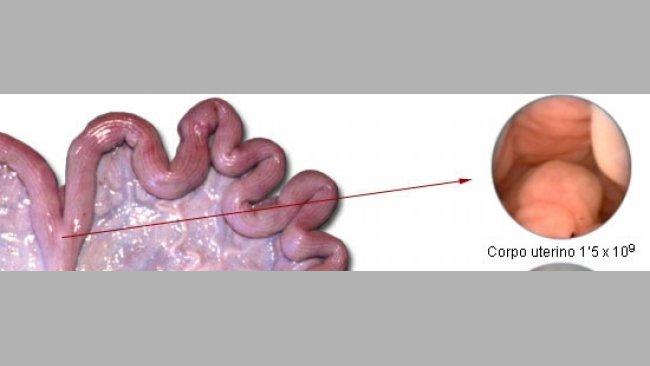 Numero di spermatozoi necessari per inseminazione in funzione del posizionamento del deposito di seme.