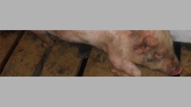 Toma de hisopos nasales de lechones en transición para la detección de M. hyorhinis.
