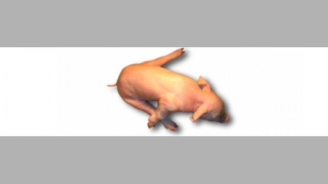 Lechón con splayleg