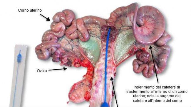 Pulizia scrupolosa della zona perineale della scrofa ricevente ed inserimento del catetere e degli embrioni