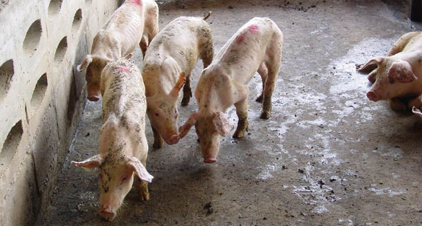 PCV2-infected piglets