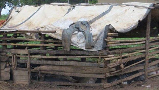 Cerdos buscando desperdicios en un ambiente urbano