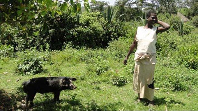 Suino al pascolo legato ad un albero per evitare di danneggiare la coltivazione circostantes cercanos en Homa Bay, Kenia