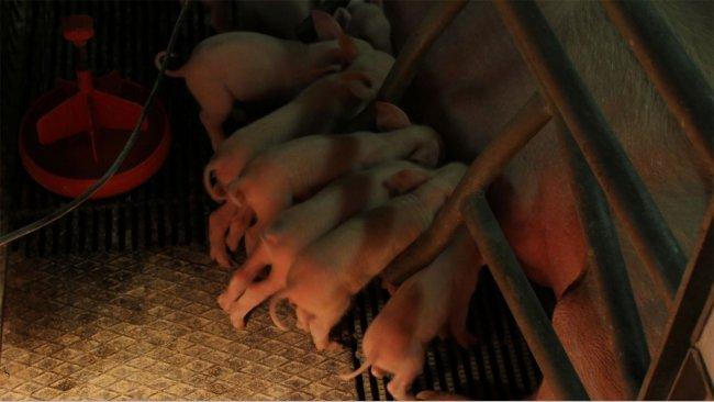 Lechón neonato