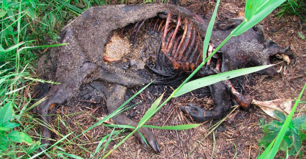 Un cadáver de jabalí, cuya muerte por PPA ha sido confirmada.
