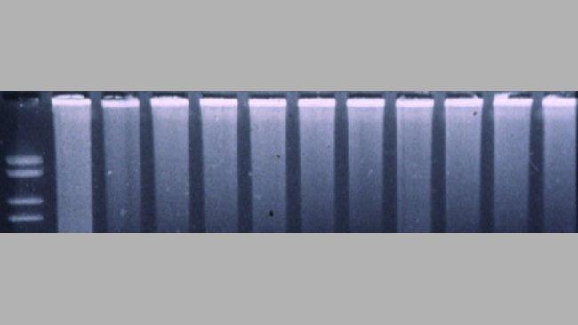 Figura 3. PCR fluorogénica para detectar PRRSV.