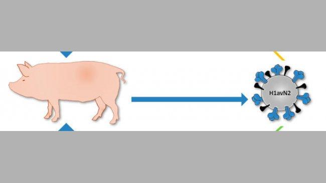 Origine del H1avN2 descritto in Danimarca e Francia