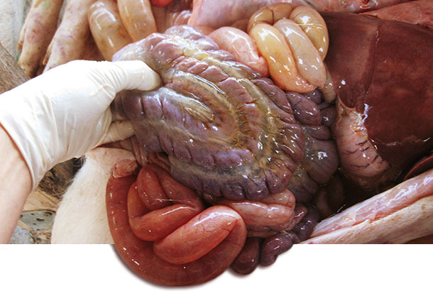 Necropsia de un lechón afectado, con edema del mesocolon