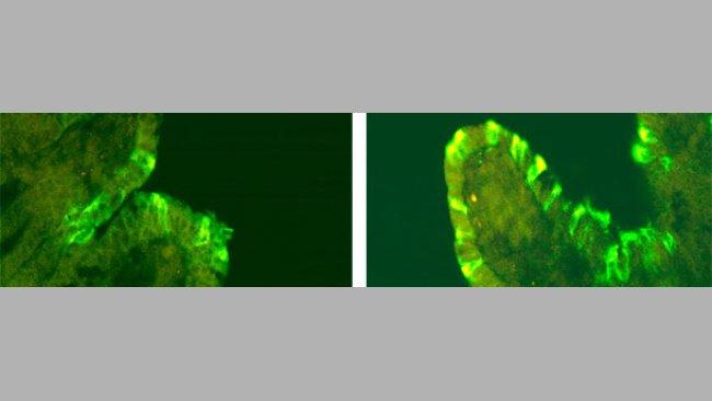 Inmunofluorescenza del PEDv in suini inoculati con CV777