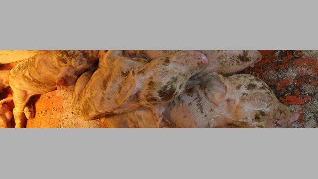 Diarrea severa, deshidratación y alta mortalidad en lechones