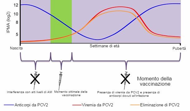 vaccinazione ottimale del pcv2