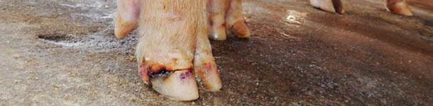 Lesioni agli unghielli in un caso di malattia vescicolare idiopatica
