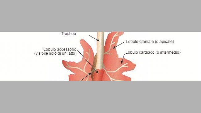 Rappresentazione schematica del polmone di un suino