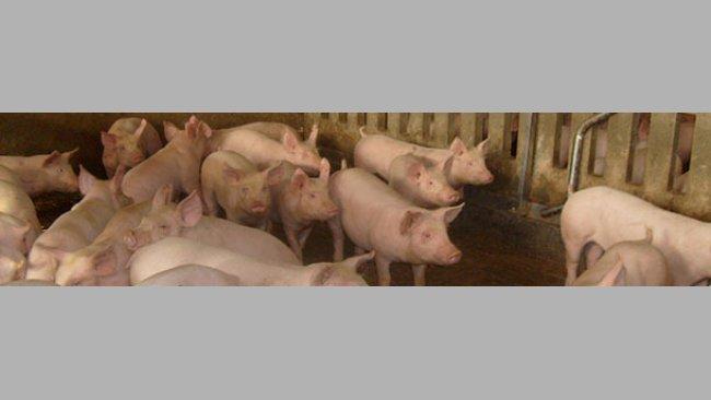 Factores de riesgo para neumonía enzoótica en cerdos de engorde