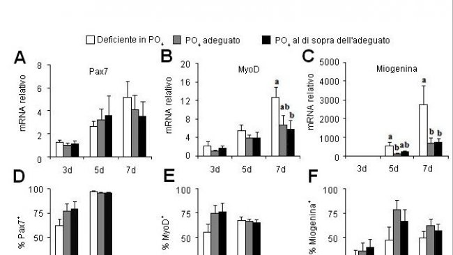 Effetto del fosforo della dieta sui geni che regolano la multiplicazione (Pax7)e la differenziazzione (MyoD, Myogenin) delle cellule satelliti