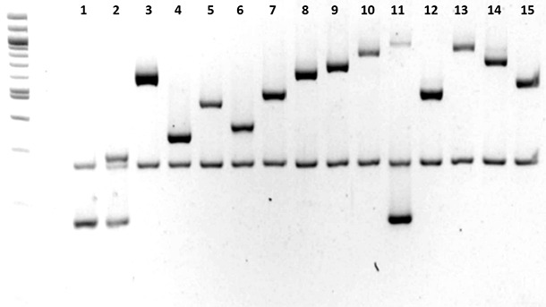Caratterizzazione dei sierotipi di Haemophilus parasuis