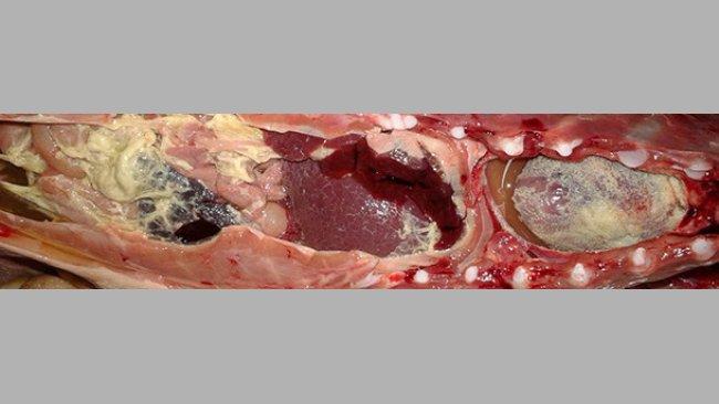 Polisierosite fibrinosa in un suinetto in svezzamento