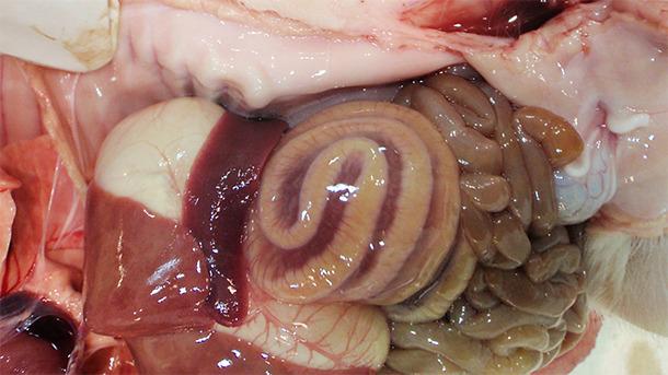 L'edema del mesocolon è tipico di ICD