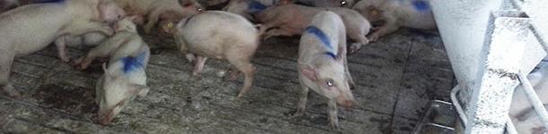Cerdos afectados