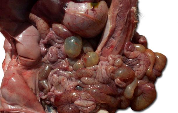 Figura 3. Necropsia de suinetto, dilatazione delle anse intestinali