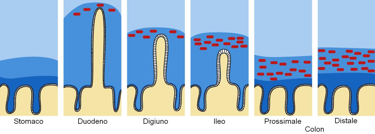 Barrera de moco y mucina en el tracto intestinal