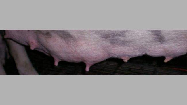 Differenza visiva tra le ghiandole utilizzate e non a 7 giorni di lattazione