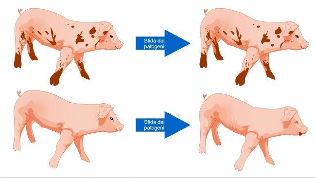 Figura 1. I suini esposti ad un ambiente con più microbi sono più preparati per tollerare una sfida sanitaria, con una popolazione microbica varia e un sistema immunitario più robusto.