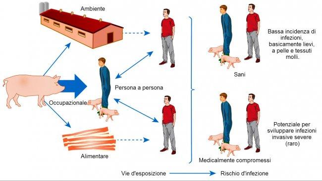 Modello concettuale delle vie di esposizione e rischi d'infezione da S. aureus associati agli animali d'allevamento
