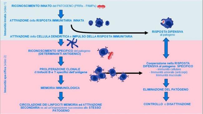 Figura 1. Fase di inizio, attivazione e progressione dell'immunità innata e specifica contro un patogeno