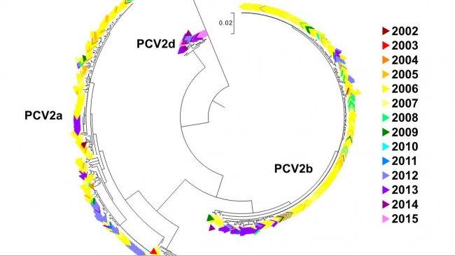 Figura 2. Albero filogenetico di massima verosimilitudine. Le 729 sequenze ORF2 del data base UMV-VDL PCV2 con codice di colore a seconda dell'anno. Si osservano i genotipi.