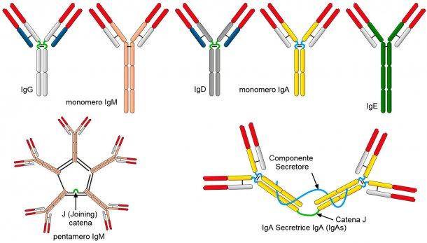 Figura 2. Le differenti sequenze di amminoacidi della regione a catena costante pesante(H) caratterizzazino differenti classi di anticorpi o isotipi