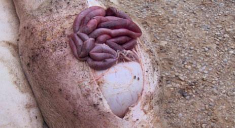 Necropsia di un suino con ulcera gastrica
