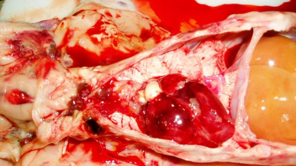 Figura 7. Il cuore del suinetto della Figura 3. Osserva le emorragie petecchiali sul cuore ed i linfonodi emorragici.