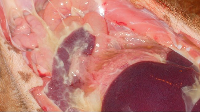 Poliserositi osservata in malattia sistemica da M. hyorhinis