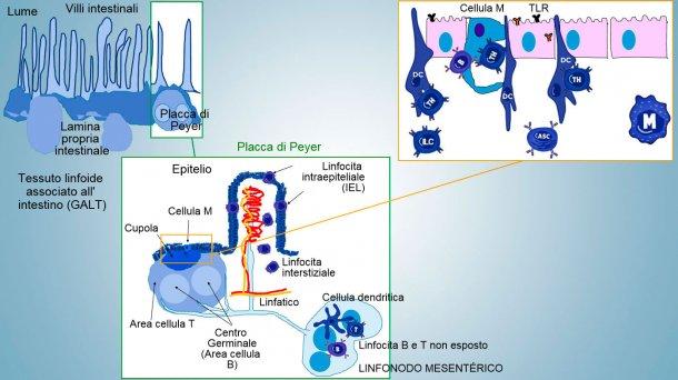 Figura1: Rappresentazione schematica dei tessuti linfoidi associati all'intestino: placche diPeyer(PPs), follicoli isolati e linfonodi mesenterici.