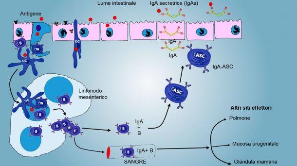 Figura4: Produzione di IgA nei linfonodi mesenterici e risposta sistemica. I linfociti B eT in proliferazione ed attivati, migrano dalla linfa al sangue, nei suini, direttamente attraverso le venule endoteliali alte(HEV), la maggioranza ritorna all'intestino o raggiungono altre superfici mucosali(siti effettori) come polmone, ghiandola mammaria ed apparato urogenitale.