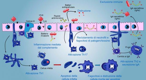 Figura5. Una visione integrata della risposta immunitaria contro i patogeni a livello della mucosa