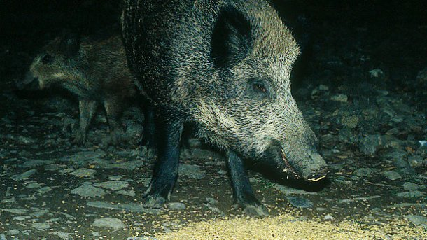 L'apporto di alimenti ai cinghiali, sia ai fini della caccia o per evitaredanni, richiede un dibattito ed una regolamentazione.