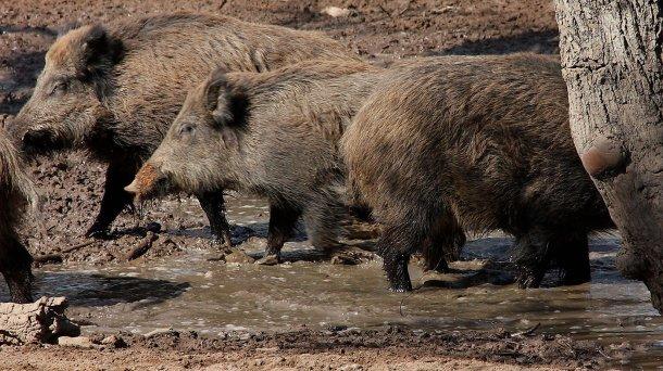 Cinghiali che fanno il bagno. Il N° e la distribuzione negli spazi dei cinghiali viene determinato dalla disponibilità d'acqua e di alimenti.