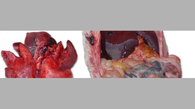 Grave congestione polmonare ed una enterite di varia gravità con interessamento più o meno importante dei linfonodi mesenterici