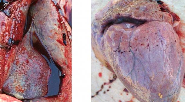 Figura 3-4. Presenza di pleurite e pericardite fibrinosa (sinistra). Emorragie petecchiali al cuore(destra).