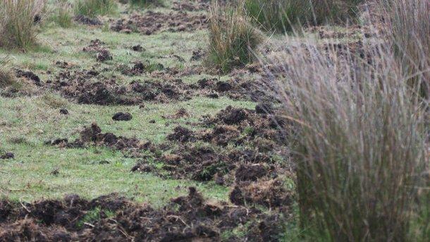 Foto 1: I buchi indicano la presenza di cinghiali. E' preferibile installare nuovi allevamenti di suini lontani da zone forestali o costiere, lontani da campi di mais e da campi irrigati.