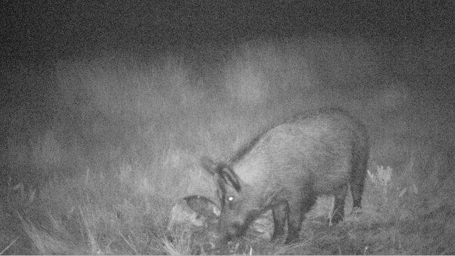 Foto 4: La foto trappola rivela come i cinghiali si nutrono di residui di carcasse e di caccia. E' importante evitare che questi siano accessibili ai cinghiali.