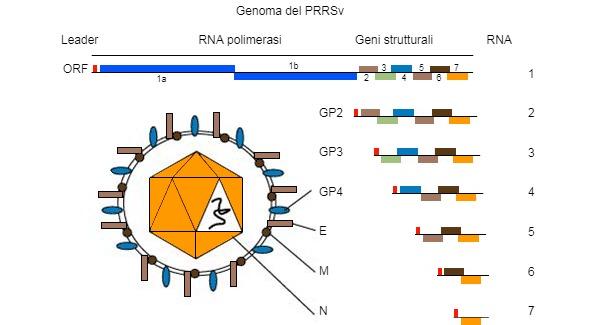 Figura 1. Ilgenoma del virus della PRRSè una molecola di RNA a catena unica.
