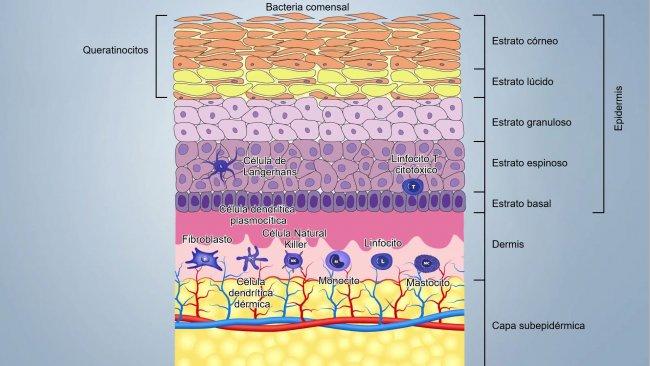 Figura 1. Schema degli strati della pelle.