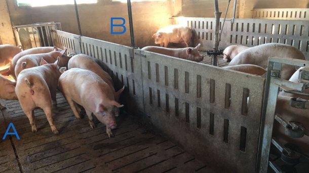 Foto 2. Box di addestramento scrofette per imparare ad entrare ed uscire della stazione di alimentazione. Nel lato A abbiamo solo abbeveratoi e nel latto B c'è la mangiatoia. Per invogliare le scrofette ad entrare, si posiziona i mangimi solo nel lato B.