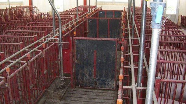 Le porte nei corridoi anteriori devono chiudere ogni 5 gabbie, permettendo così di ricercare i calori ed inseminare gruppi di 10 scrofe.