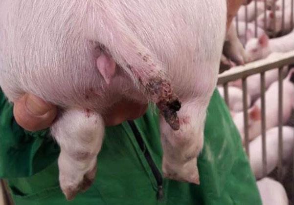 Figura 1. Una lesione grave in un suino di circa 15 kg in cui vi è stata addirittura la perdita di un parte di coda.