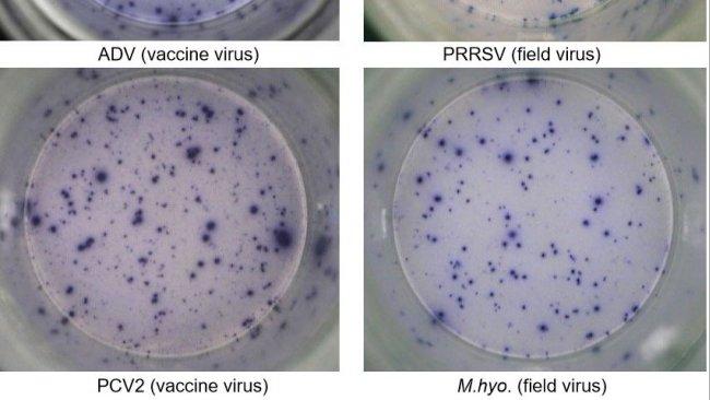 Figura 1. Risposta IFN-γ ELISPOT antigene-specífica suPBMC nei confronti dei patogeni suini:ADV: Virus della Malattia di Aujeszky; PRRSv; PCV2; M.hyo.Mycoplasma hyopneumoniae. Ogni punto è causato dalla secrezione di IFN-γ dei linfocitiT di memoria/effettrici riattivati. (tra parentisi i patogeni usati per la riattivazione)